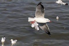 Mostra grande e pequena da gaivota da mosca Fotografia de Stock Royalty Free
