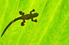 Mostrado em silhueta do lagarto Foto de Stock