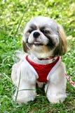 Mostrar-perro Shih Tsu Fotos de archivo