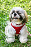 Mostrare-cane Shih Tsu Fotografie Stock