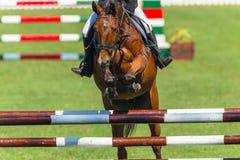 Mostre a cabeça de salto do close up do cavalo sobre Foto de Stock