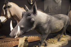 Mostre di storia naturale in museo Immagine Stock Libera da Diritti