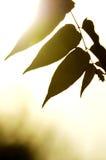 Mostre em silhueta as folhas Imagens de Stock