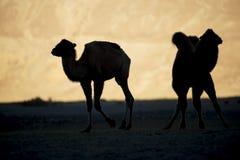 Mostre em silhueta camelos novos no vale Ladakh de Nubra da duna de areia, Índia fotografia de stock royalty free