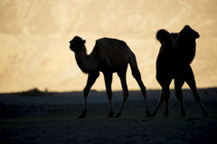 Mostre em silhueta camelos novos no vale Ladakh de Nubra da duna de areia, Índia fotografia de stock