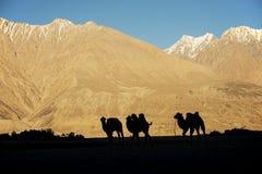 Mostre em silhueta camelos novos no vale Ladakh de Nubra da duna de areia, Índia fotos de stock royalty free