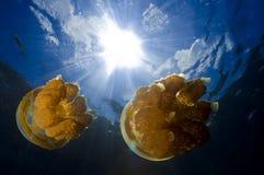 Mostre em silhueta a opinião um par medusa no lago jellyfish, Palau Micronésia Fotos de Stock