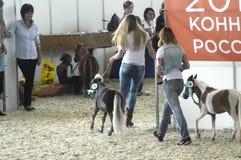 Mostre Moscou que livra Hall International Horse Exhibition Fotografia de Stock Royalty Free