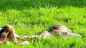Mostre o cão da raça do lebreiro em um verde natural filme