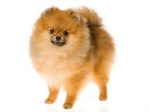 Mostre o campeão Pomeranian no fundo branco foto de stock