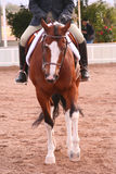 Mostre o cavalo Foto de Stock