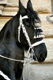 Mostre o cavalo harnesed em uma parada Fotos de Stock Royalty Free