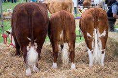 Mostre o gado imagens de stock royalty free