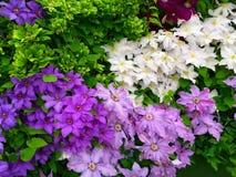 Mostre o jardim com flores da clematite Fotos de Stock