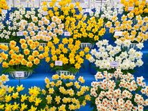 Mostre o jardim com flores dos narcisos amarelos Fotografia de Stock Royalty Free