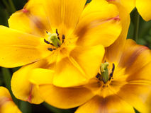 Mostre a tulipa no close up Fotografia de Stock Royalty Free