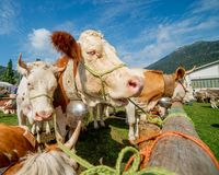 Mostri le mucche fotografia stock libera da diritti