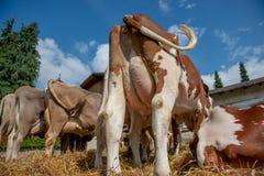 Mostri le mucche fotografie stock