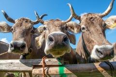 Mostri le mucche fotografia stock