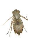Mostro della larva della libellula Fotografia Stock