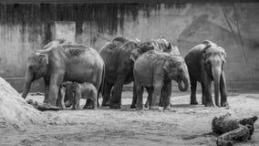 Motłoch azjatykcich słoni gęstej skóry dziecka popielaty słoń w czerni zdjęcia stock
