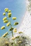 mot agave ocks? som bl? f?r v?xtsky f?r ?rhundrade blomma veten suckulent arkivfoto