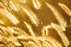 mot bakgrund field blåa oklarheter för grön vitt wispy natursky för gräs Gräs blommar under solsken under solnedgång P Royaltyfri Foto