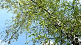 mot bakgrund field blåa oklarheter för grön vitt wispy natursky för gräs blåsa på sidor för vindträdgräsplan stock video