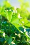 mot bakgrund field blåa oklarheter för grön vitt wispy natursky för gräs E Vårsommarbegrepp Arkivfoton