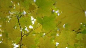 mot bakgrund field blåa oklarheter för grön vitt wispy natursky för gräs Lönnlöv av höstskogen utan solen härligt se utomhus upp  arkivfilmer