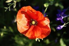 mot bakgrund field bl?a oklarheter f?r gr?n vitt wispy natursky f?r gr?s Röda Poppy Flower, slut upp arkivfoton