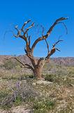 mot blå ironwoodskytree Royaltyfria Foton