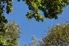 mot blå plantaneskiestree Royaltyfri Bild