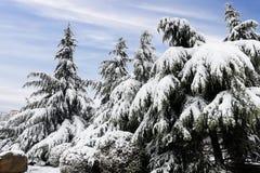 mot blå snow för sky för frostliggandeplats övervintrar trees Royaltyfri Foto