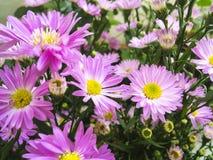 mot blå tusensköna blommar skyyellow Arkivfoton