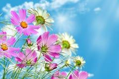 mot blå tusensköna blommar skyyellow Arkivbilder