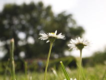 mot blå tusensköna blommar skyyellow Royaltyfria Bilder