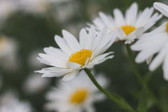 mot blå tusensköna blommar skyyellow Royaltyfri Fotografi