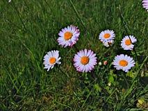 mot blå tusensköna blommar skyyellow Arkivbild