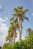 mot blue gömma i handflatan skytrees Tropisk palmträd Arkivbilder