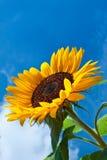 mot den blåa blommaskysunen Arkivbilder