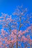 mot den blåa Cherryskyen för härlig blomning Royaltyfri Bild