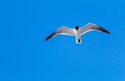 mot den blåa flygseagullskyen Royaltyfri Fotografi