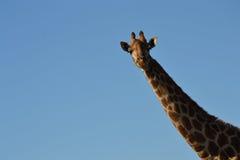 mot den blåa giraffskyen royaltyfria bilder