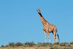 mot den blåa giraffskyen Royaltyfri Fotografi