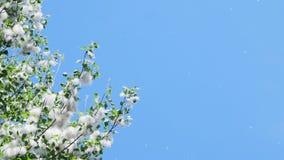 Mot den blåa himlen förgrena sig täckte den stora gröna poppeln, tätt med packar av ludd Ljus ludd för vit poppel stock video