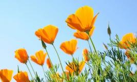 mot den blåa orange vallmoskyen Fotografering för Bildbyråer