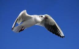 mot den blåa seagullskyen Royaltyfri Foto