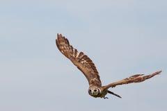mot den enorma owlskyen för blått flyg Royaltyfria Bilder