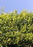 mot den gröna leavesskyen Fotografering för Bildbyråer
